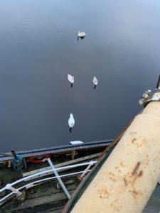 Swans visit
